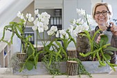 Office planting with phalaenopsis