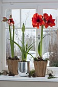 Hippeastrum budding and in bloom on windowsill