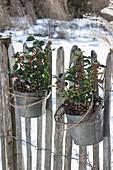 Zink pots with Ilex aquifolium attached to the garden fence