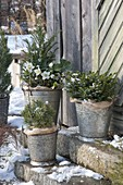 Winter hardy groves in zinc buckets on the stairs of the tool shed