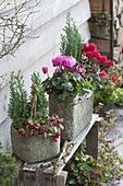 Rustic pots with cyclamen, Gaultheria procumbens