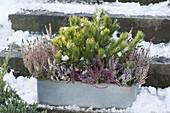 Zinc box with Calluna vulgaris and Pinus mugo var. Mughus