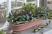 Terracotta box with Skimmia 'Rubella' (flower scented) and Pinus