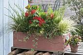 Wooden box with Skimmia japonica 'Temptation', Juniperus