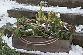 Wooden box winterized with Skimmia 'Rubella