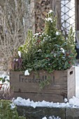 Old wine box with winter planting: Picea glauca 'Conica'
