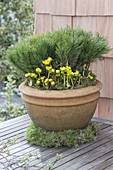 Large terracotta bucket with Pinus mugo (pine) and Eranthis