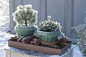 Winter hardy wrapped pots with Pinus mugo 'Pug' and Picea