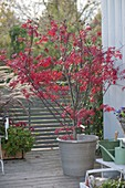 Acer palmatum, in a bright red autumn color