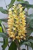 Hedychium gardnerianum (Flowering ornamental ginger)
