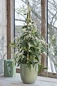 Hardenbergia Violacea 'Alba' (white coral pea) at the window