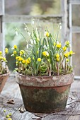 Clay pot with Eranthis hyemalis and Galanthus nivalis