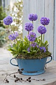 Primula denticulata in blue enamel bowl with moss