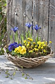 Blue-yellow basket bowl planted with Primula acaulis, Eranthis