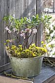 Zinc bowl with Daphne odora 'Aureomarginata' and Eranthis