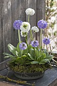 Flat metal bowl with primula denticulata embedded in moss