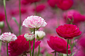 Ranunculus asiaticus' Pink Picotee' white with pink margin and magenta