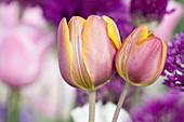 Tulipa (tulip) bicolor pink with yellow border