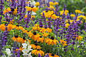 Summer bed with Rudbeckia hirta, Salvia farinacea and Antirrhinum
