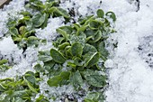 Corn salad (Valerianella locusta) in the snow