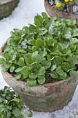Corn salad (Valerianella locusta) as a winter salad in clay pot