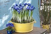 Iris reticulata 'Harmony' in yellow metal bowl, Primula acaulis