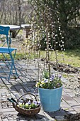 Salix caprea 'Kilmarnock' trunks, Viola cornuta