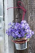Campanula portenschlagiana (Dalmatian bellflower)