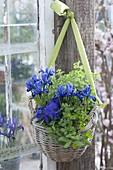 Hanging basket planted with viola cornuta, mint