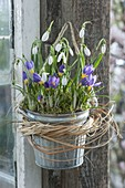 Zink pot with Crocus sieberi 'Tricolor' and Galanthus nivalis
