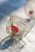 In spring, the outer shell of Physalis alkekengi fades away