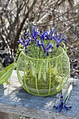 Iris reticulata in bowl with moss placed in green basket