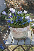 Old clay pot with Cocus vernus 'Pickwick', Viola cornuta