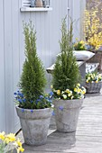 High gray tub planted with Thuja occidentalis 'emerald'