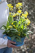 Woman holding old enamel bowl with primula veris