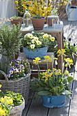 Spring terrace with Primula veris, Viola cornuta