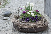 Iron fire bowl with bellis, Viola cornuta