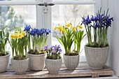 Spring on the windowsill in blue and yellow-iris reticulata 'Harmony'