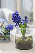Hyacinthus 'Pacific Ocean' (hyacinth) with moss set in glass