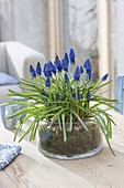 Muscari armeniacum 'Blue Pearl' with moss in glass bowl