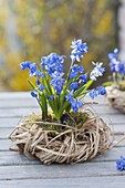 Scilla siberica 'Spring Beauty' with moss in grass wreath