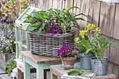 Basket, zinc pots and clay pot with primula x pruhoniciana 'Wanda'