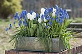 Blechkiste bepflanzt mit Muscari armeniacum (Traubenhyazinthen) und Tulipa