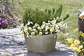 Tin bucket with Pinus mugo mughus and Viola cornuta