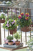 Rusty iron pots on the balcony railing with Primula Belarina 'Pink Champagne'