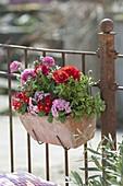 Spring box on the balcony railing with primula acaulis (primrose)