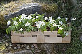 Anemone nemorosa, in chip basket on natural stone