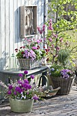 Tin bowl and baskets with Primula denticulata, Boronia