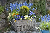Basket with spring bloomers in the garden, Buxus, Muscari
