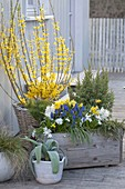 Forsythia in the basket, wooden box with Juniperus
